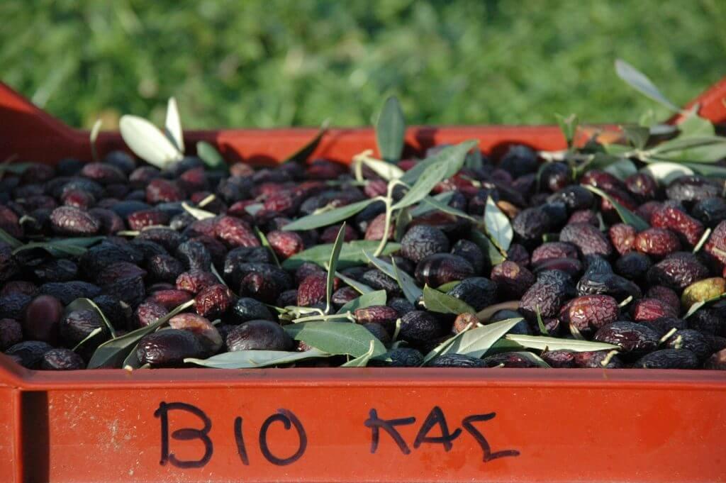 Reife Oliven, aus denen später Olivenöl gewonnen wird das nicht bitter schmeckt