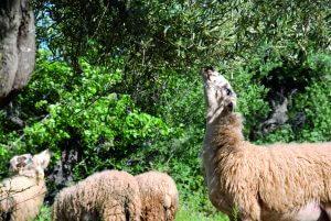 Schafherde auf Olivenbaumwiese